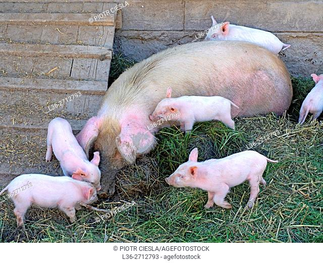 Pig with small piglets