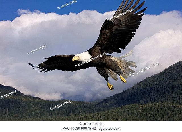 Alaska, Tongass National Forest, Inside Passage, Bald Eagle flying in blue sky