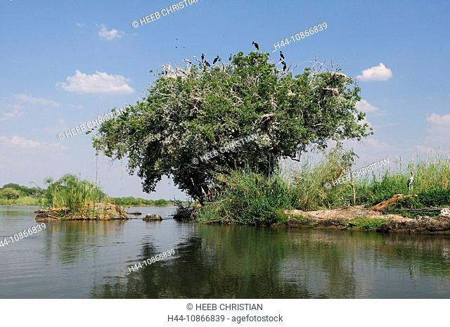 Open-billed Stork, Anastomus lamelligerus, Ntwala Island Lodge, Zambezi River, Kasane, Caprivi, Namibia, Africa, Travel, Nature