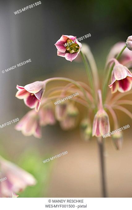 Sicilian honey lilies