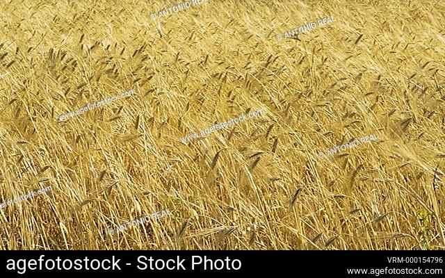 wheat field and shepherd's hut. Almansa. Albacete province. Spain
