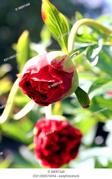 Red Peony herbaceous hybrid (officinalis x lactiflora) Carol