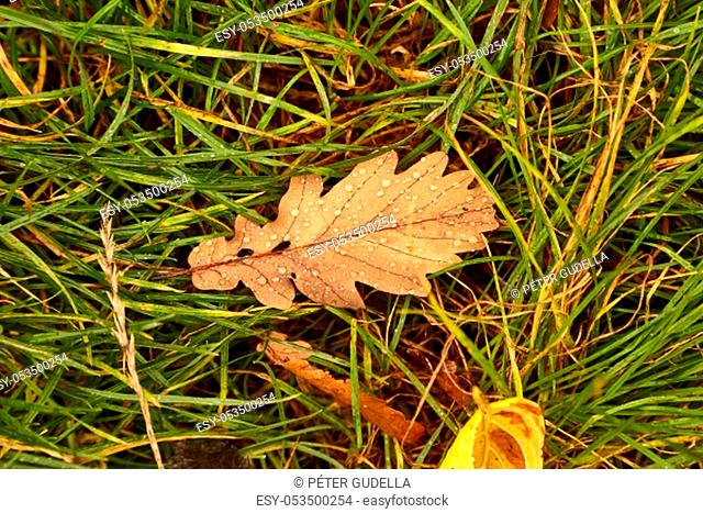 Fallen leaf on grass covered with raindrops, wet