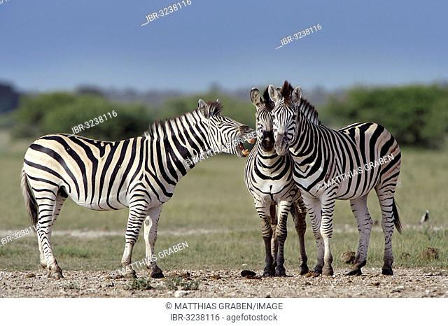 Burchell's Zebras (Equus quagga burchelli) standing next to each other