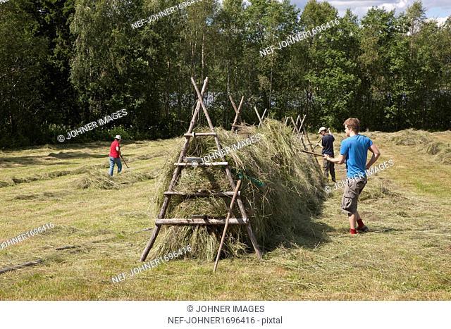 Farmers putting hay on drying rack
