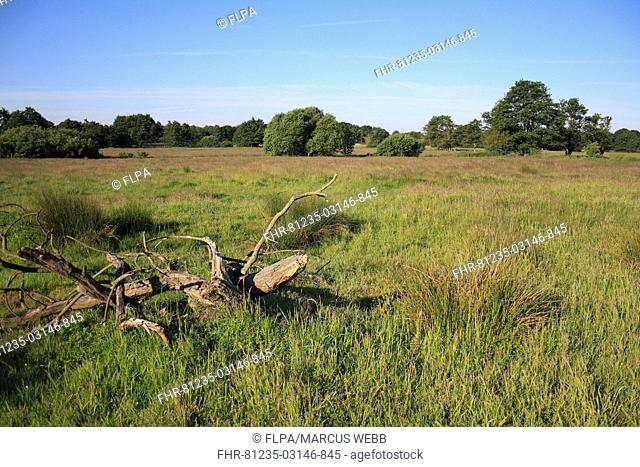 View of rough pasture habitat with rushes and decaying tree stump, Roydon, Upper Waveney Valley, Norfolk, England, june
