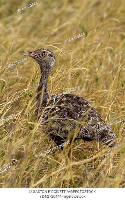 Northern Black Korhaan (Eupodotis afraoides) - Female. Savuti, Chobe National Park, Botswana