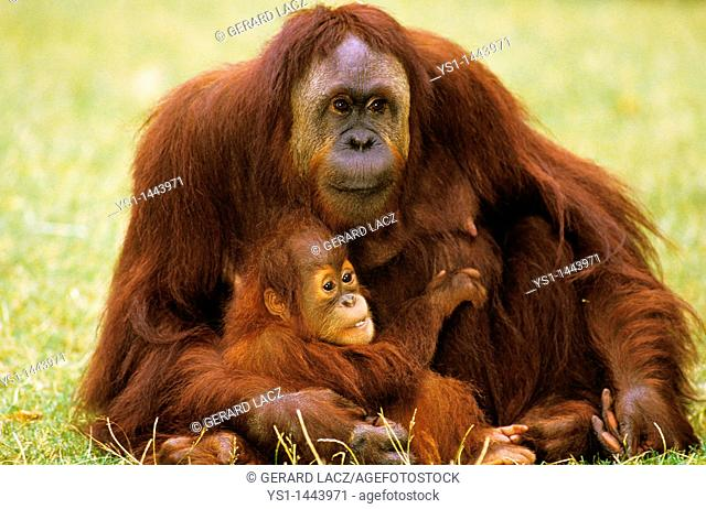 ORANG UTAN pongo pygmaeus, MOTHER WITH BABY SITTING ON GRASS