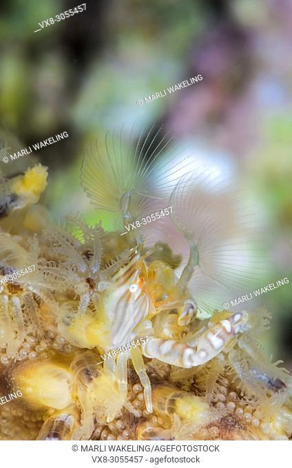 Four-lobed Porcelain crab, Lissoporcellana quardrilobata, Anilao, Batangas, Philippines, Pacific