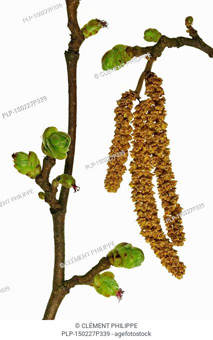 Common hazel (Corylus avellana) male catkins and female inflorescence against white background