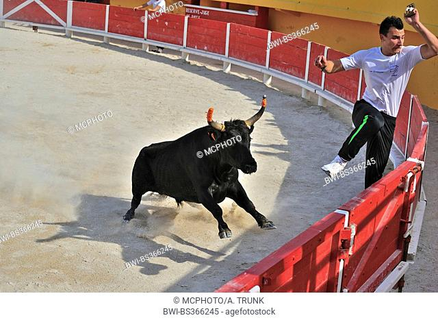 domestic cattle (Bos primigenius f. taurus), bullfight training, bull chasing the torero out of the arena, France