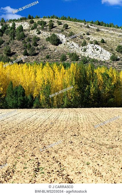 white poplar, silver-leaved poplar, abele Populus alba, reforested between cultive field and mountain, Spain, Aragon, Sierra Albarracin, Teruel