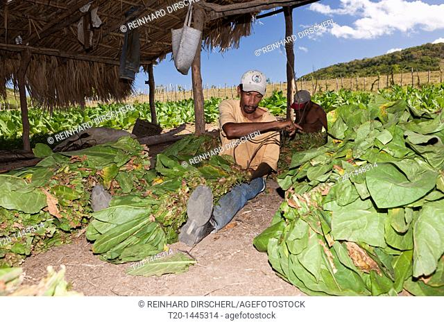 Workers of small Tabacco Plantation, Punta Rucia, Dominican Republic