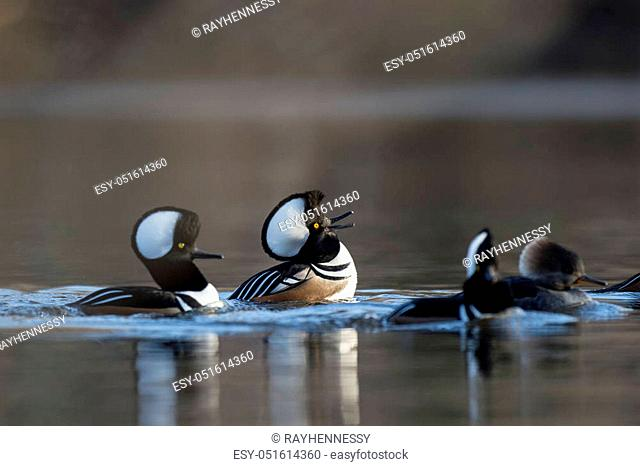 A couple of male Hooded Mergansers perform courtship rituals doing their best to impress the females