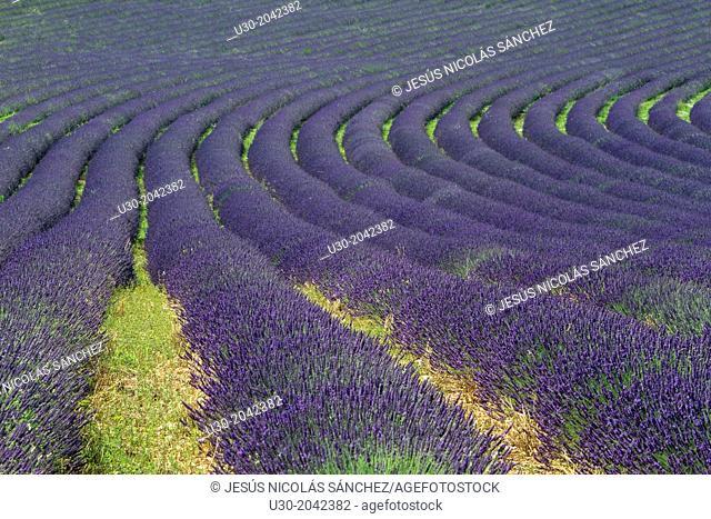 Lavender fields (Lavandula angustifolia), in Banon, plateau de Valensole. Alpes de Haute Provence department. Provence-Alpes-Cote d'Azur region