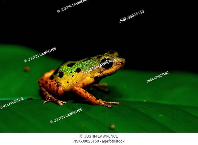 Isla Colon morph Strawberry Poison Frog (Oophaga pumilio) resting on a leaf, Nicaragua