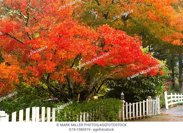 Fall colors and white picket fence- Japanese Maple tree