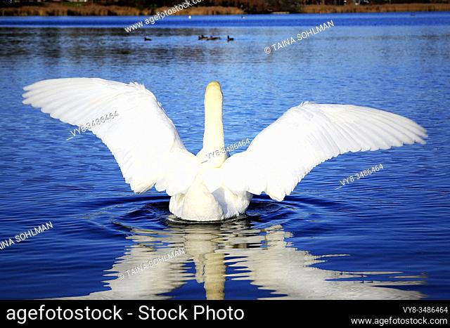 White Swan spreading wings on waterfront of a deep blue lake. Moderate filtering applied to original photo