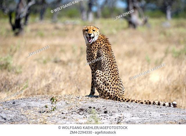 A Cheetah (Acinonyx jubatus) is calling and looking for family members near the Vumbura Plains in the Okavango Delta in northern part of Botswana