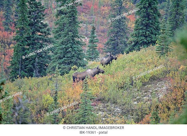 Female Moose Alces alces in the autumn coloured Denali Nationalpark Alaska USA