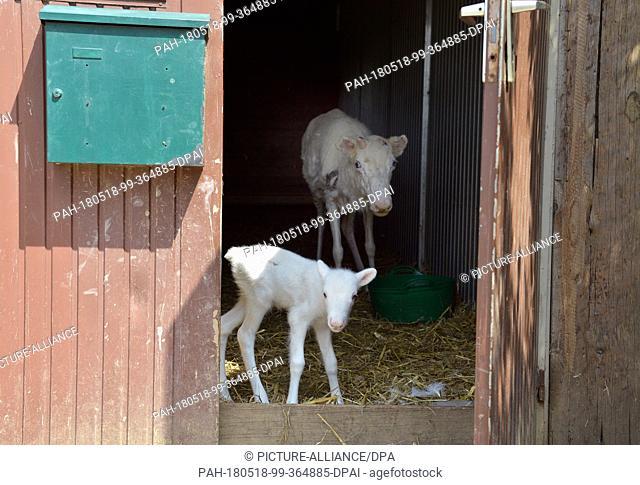 """17 May 2018, Germany, Niederhausen: Mika the white reindeer (front)with his mother Mari in a stable at the """"""""Rentieralm"""""""" in the Nahe Valley"""