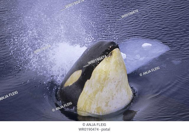 Spyhopping Killer Whale Orcinus Orca McMurdo ice channel, Ross Sea, Antarctica