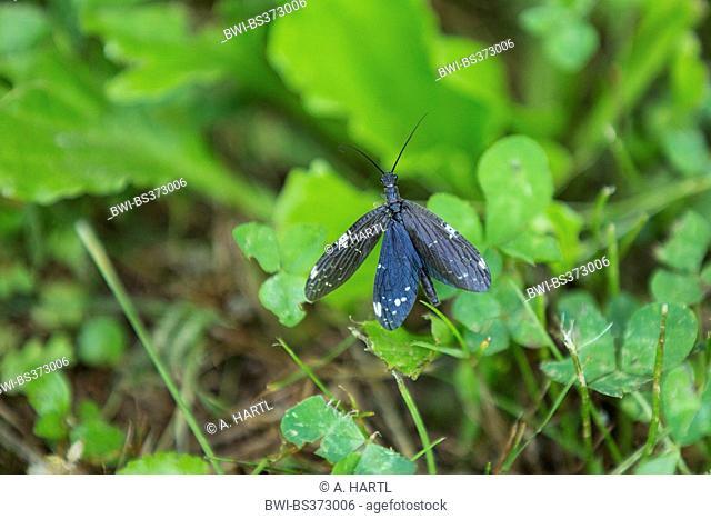Dark Fishfly (Nigronia serricornis), flying up, USA, Tennessee, Great Smoky Mountains National Park