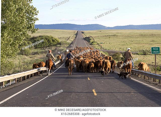 An old fashioned cattle drive, reminiscent of the old west, uses a modern, paved road in the Pacific Northwest for cowboys to drive the herd from one range land...