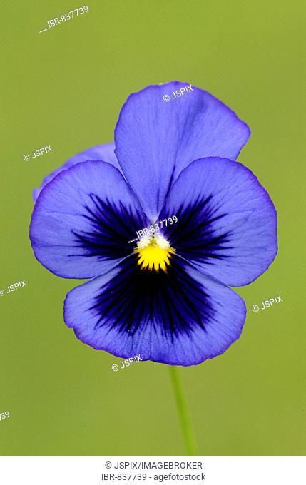 Horned Pansy (Viola cornuta), blossom