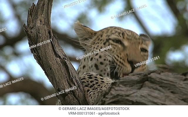 Leopard, panthera pardus, Female, Moremi Reserve, Okavango Delta in Botswana, Slow Motion