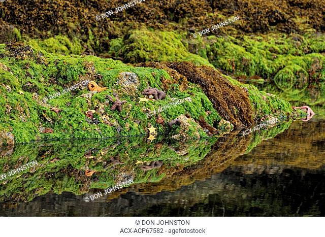Exposed fucus, green algae colonies and invertebrates in Burnaby Narrows, Haida Gwaii (Queen Charlotte Islands) Gwaii Haanas NP, British Columbia, Canada