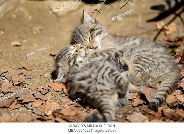 European wildcats, Felis silvestris silvestris, young animals, looking at camera