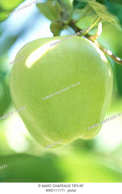 Close up of an apple on tree