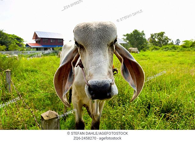 Cow in the Isaan Province, Thailand