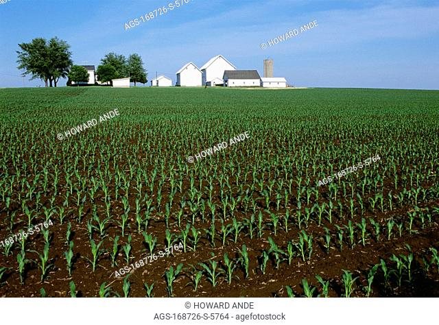 Agriculture - Field of early growth grain corn plants with white farmstead buildings in the background / near Big Rock, Illinois, USA