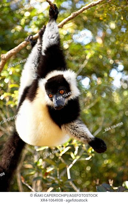 Black-and-white Ruffed Lemur (Varecia variegata variegata), Lemur's Island, Andasibe, Toamasina, Madagascar