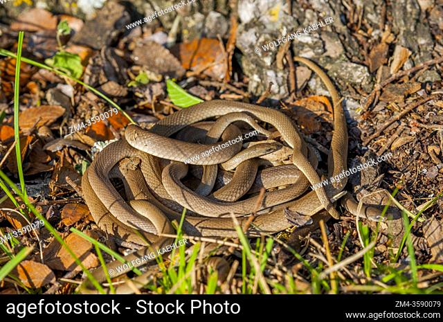 Rough earth snakes in the Hill Country of Texas near Hunt, USA