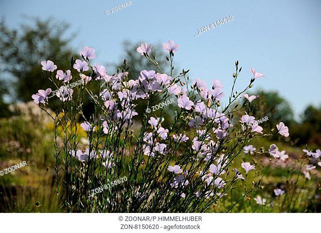 Linum narbonense, Spanischer Lein, Blue flax
