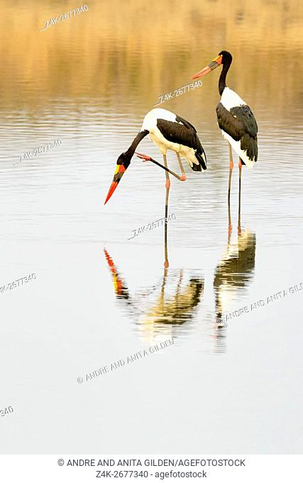 Saddle-billed stork (Ephippiorhynchus senegalensis) at a waterhole with reflection, Kruger National Park, South Africa