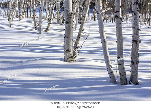 Winter shadows in a birch woodlot, Greater Sudbury, Ontario, Canada