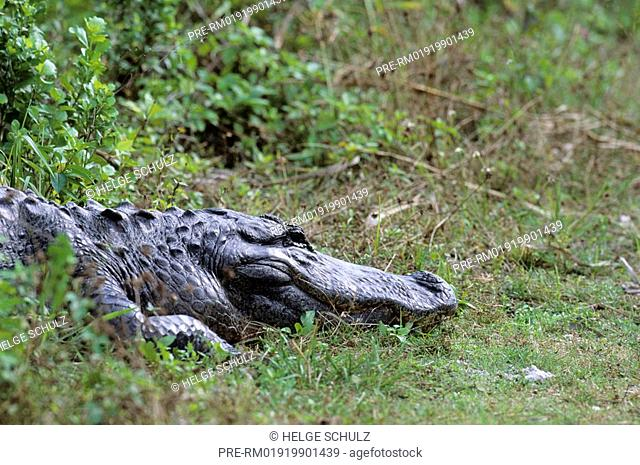 American Alligator, Alligator mississippiensis