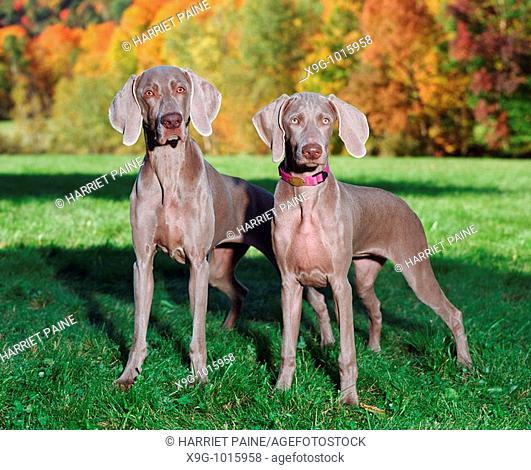 Weimaraner: breed of dog