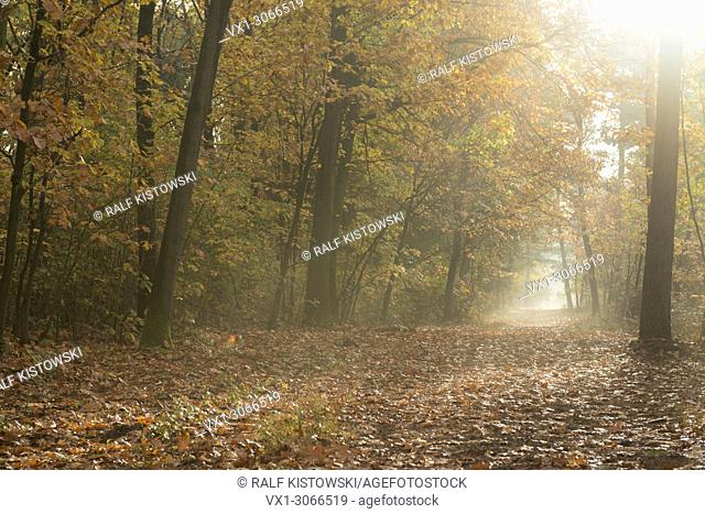 Autumnal forest path in golden light invites for a recreational day in the woods (golden October)