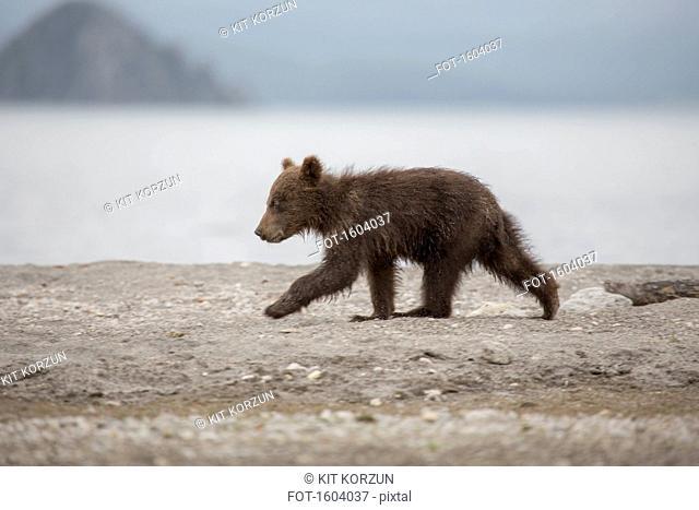 Full length side view of bear cub walking on lakeshore, Kurile Lake, Kamchatka Peninsula, Russia