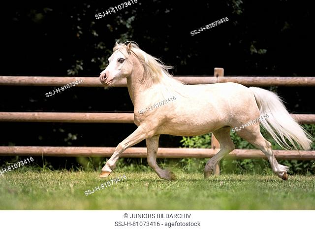 Welsh Mountain Pony. Palomino trotting on a meadow in summer. Germany