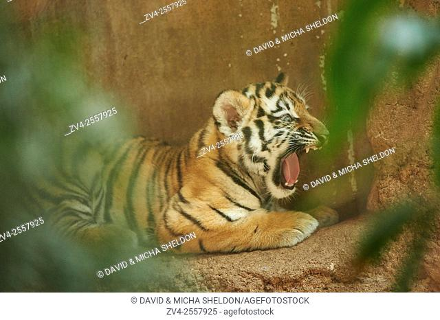 Close-up of a Siberian tiger cub (Panthera tigris altaica) in late summer