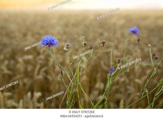 Grain field with blue cornflowers