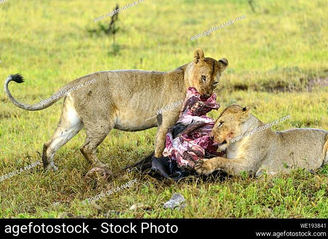Lions (Panthera leo) feeding on a blue wildebeest or common wildebeest, white-bearded wildebeest or brindled gnu (Connochaetes taurinus)