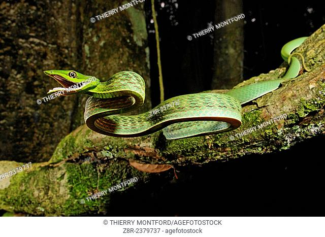 Oxybelis fulgidus. Defensive attack of a vinesnake. French Guiana
