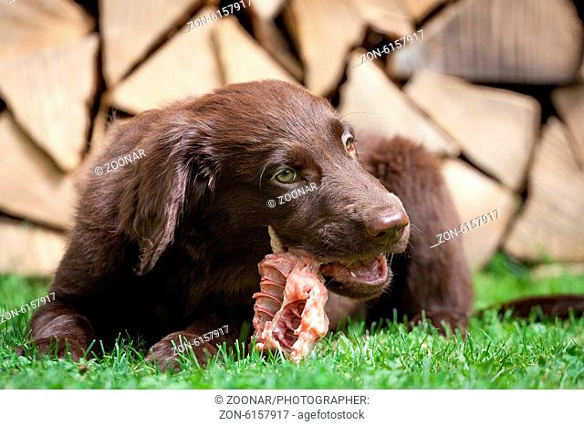 Puppy it a chicken carcass